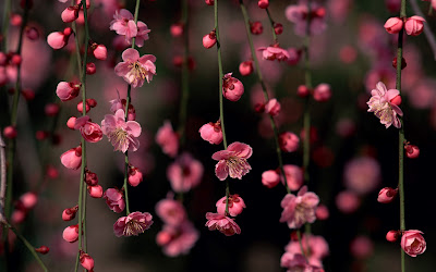 Sakura Blossom Awesome Spring Flowers Wallpaper