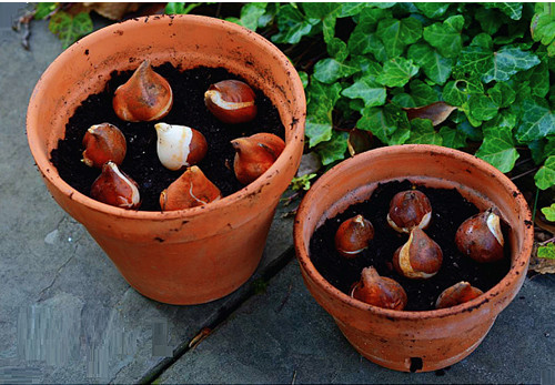 Củ giống hoa Tulip 2015 Cu%2Bgiong%2Btulip