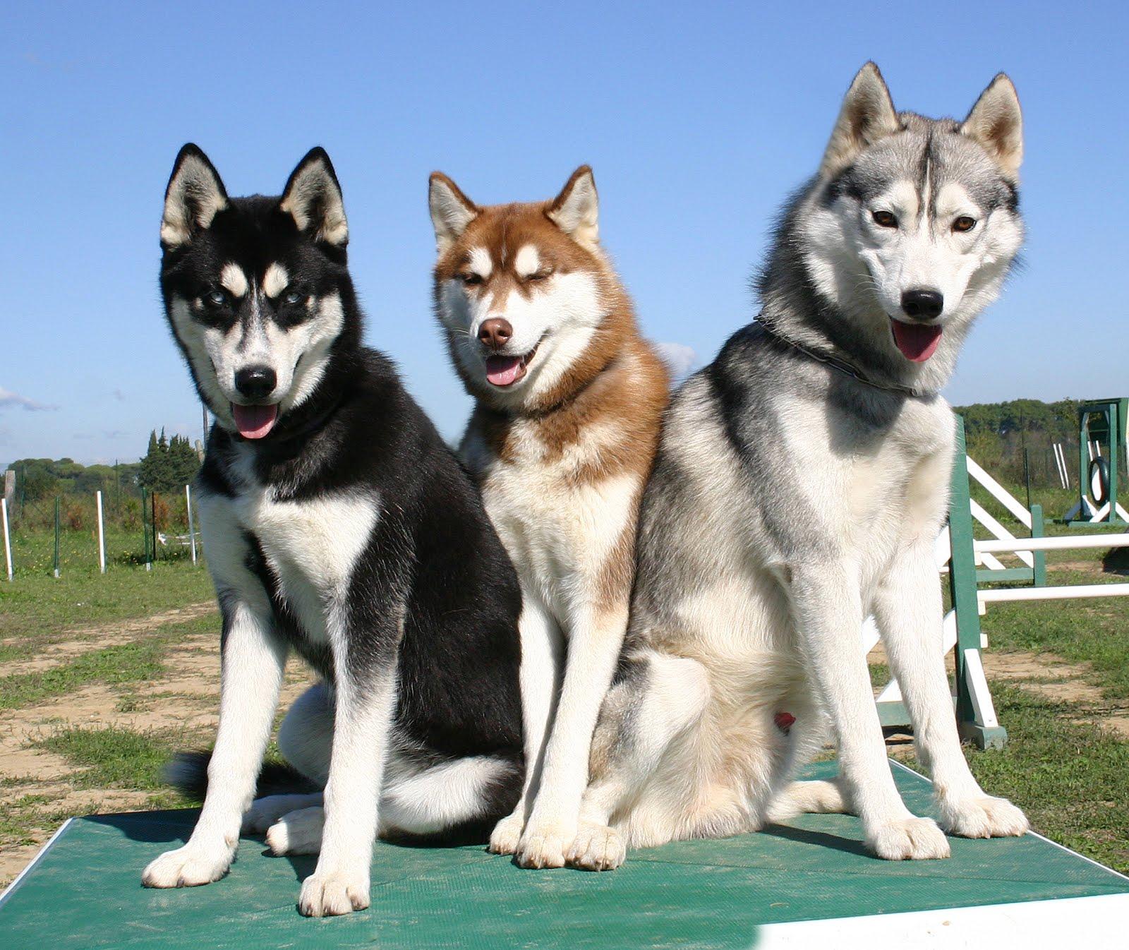 Idool Perros raza Husky Siberianos en tres diversos colores
