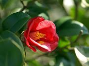 lunes, 10 de octubre de 2011 (rosa flor roja )