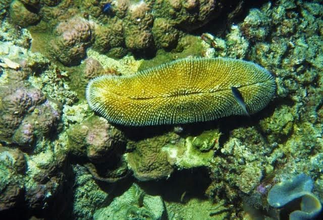 Fungia sp. - Coral