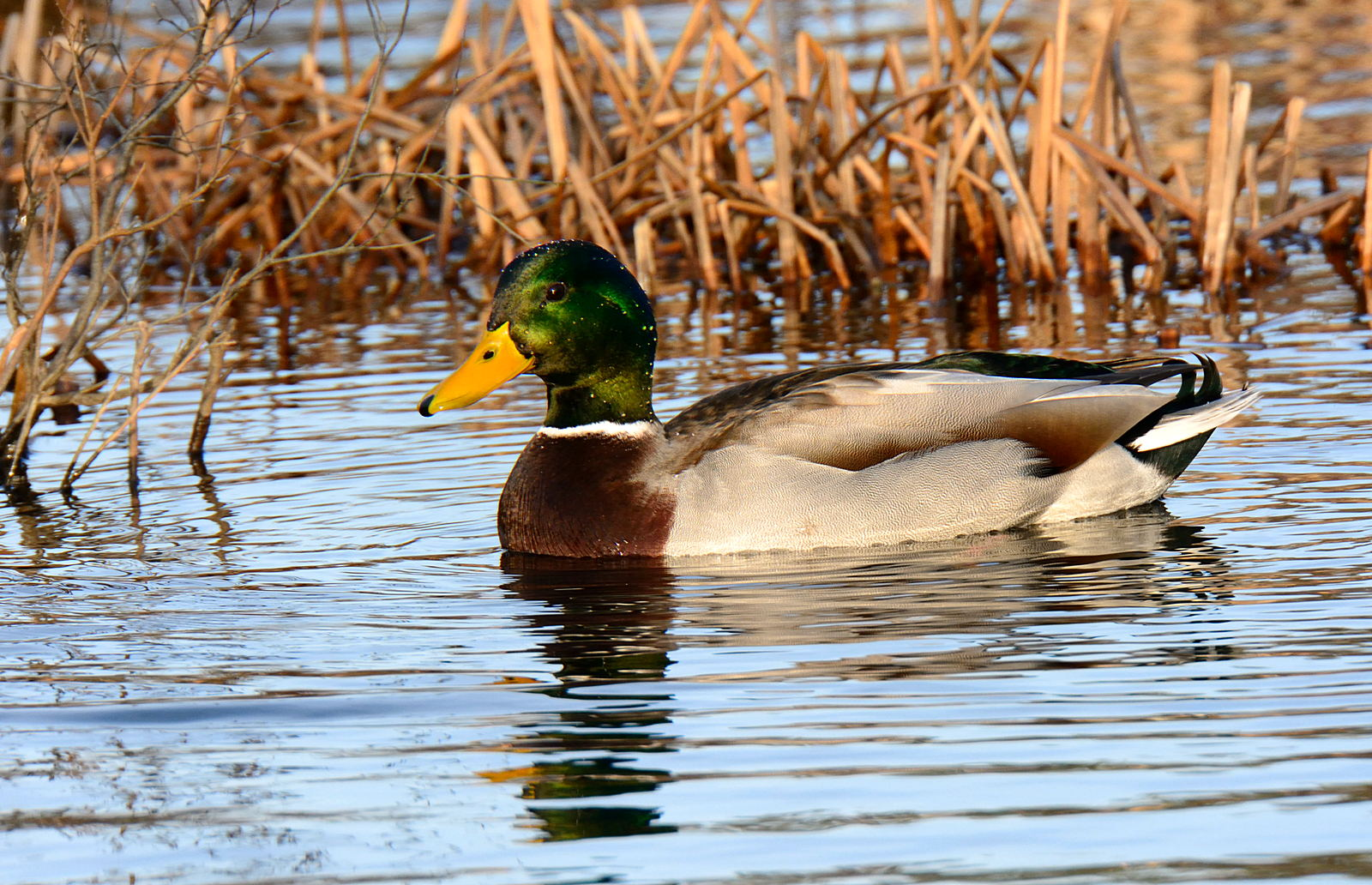Turbo\'s Track and Photo Tour: Wood, Black, and Mallard Ducks ...