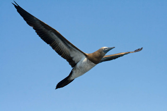 Figure 11: Boobies are sharply pointed on all four ends—including the pointed tail, as this Brown Booby shows.