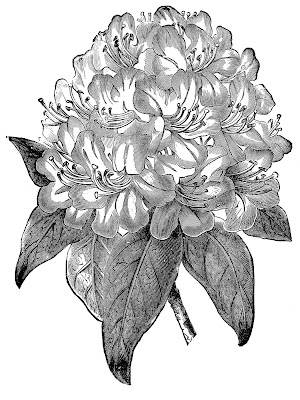 Vintage Botanical Image - Rhododendron Black and White