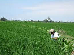 El SKMg para una producción mas rentable de arroz