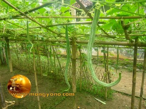 FOTO : Paria Belut, Pare Belut alias Pare Ular, Snake Gourd di kebun belakang.