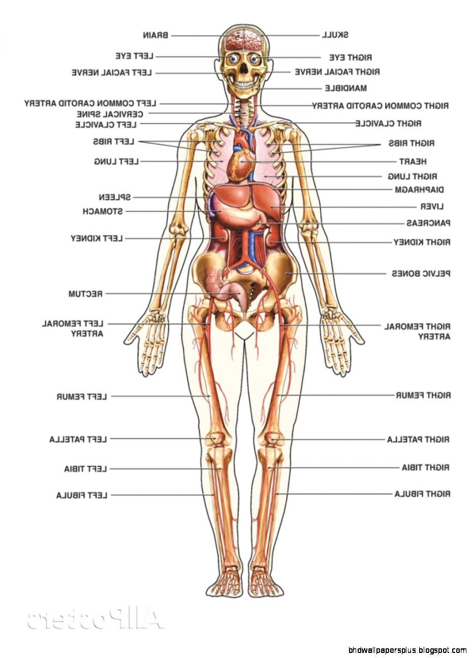 Human anatomy 3d no 2395  Recognizing Your Body Systems August