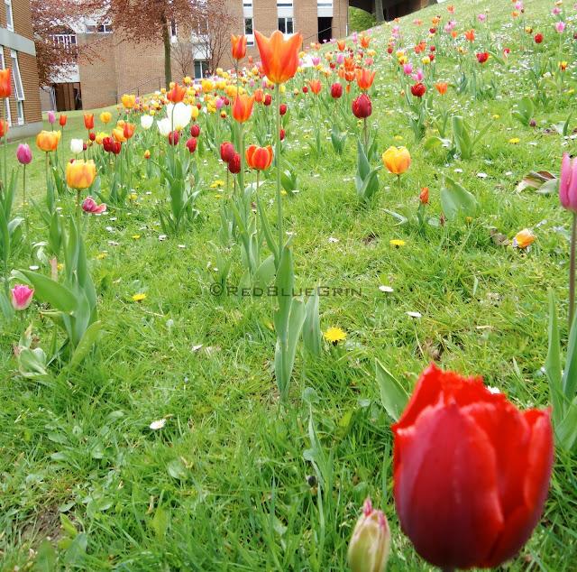 Tulip garden at University of Sussex campus