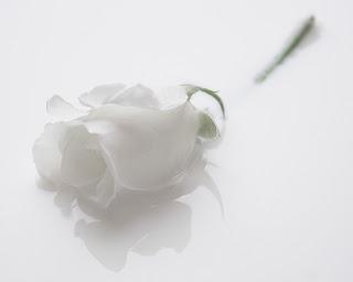 Rosa blanca Fotos de flores blancas