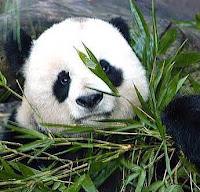 animales, panda, heterótrofos
