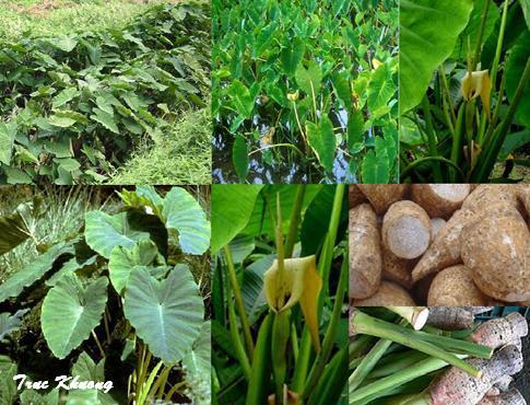 ត្រាវ cây khoai môn, tiếng Anh là taro, Colocasia antiquorum hoặc Colocasia esculenta
