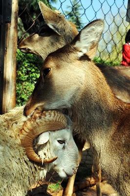la oveja y la venada se aman en zoo de china