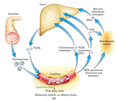 High Cholesterol Effects