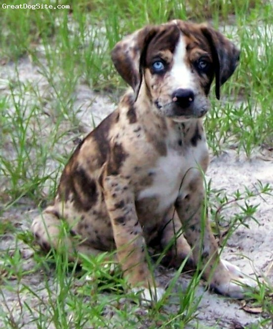 Erin's Blog on Happy Things ♥: Catahoula Leopard Dog