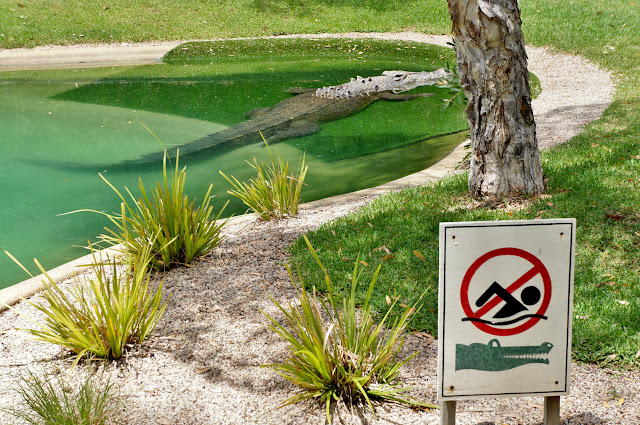 Photo of a large saltwater crocodile under water next to a no swimming sign