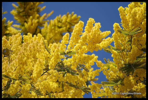 Mimosa, Silver wattle (Acacia dealbata) flowers
