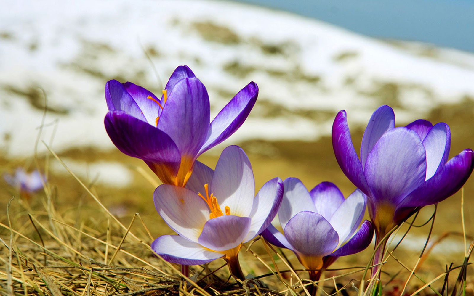 wallpapers: Purple Crocus Flowers Wallpapers