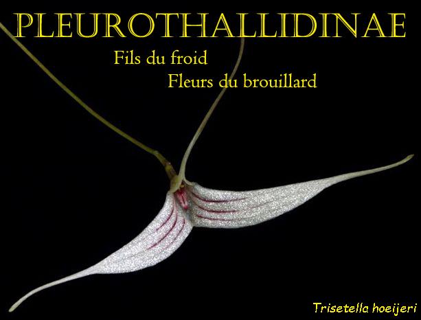 Pleurothallidinae