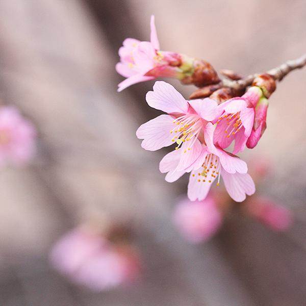 Flower Blossom, Sakura