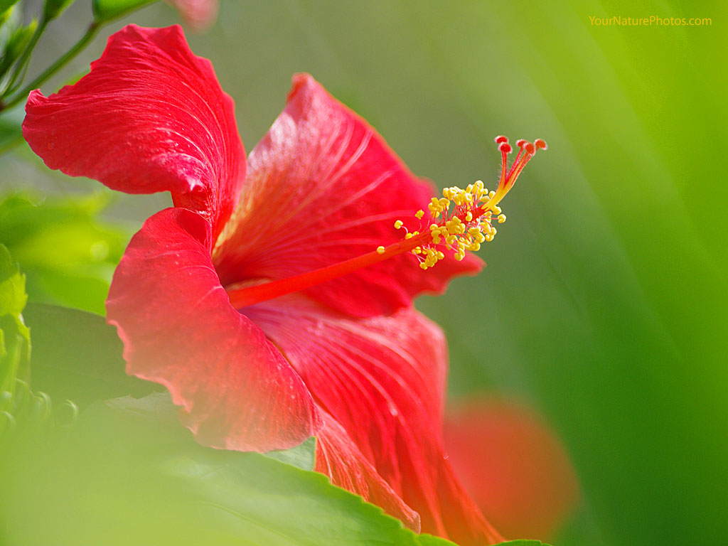Flowers Wallpapers: Hibiscus Flowers Wallpapers