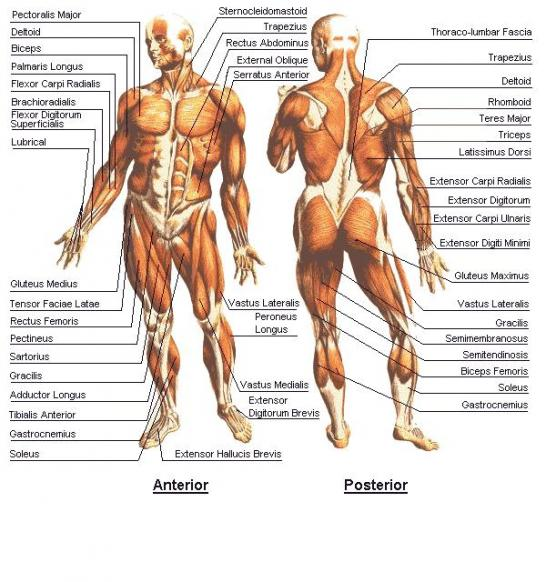 http://www.akitarescueoftulsa.com/tendons-in-the-body-diagram/