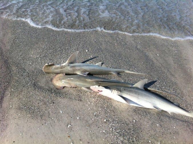 dead-sharks-422_rdax_676x505.jpg