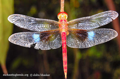 coral tailed cloud wing dragonfly