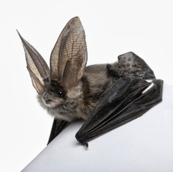 Belfry Bats, The - The Belfry Bats Vs. The Paper Cages