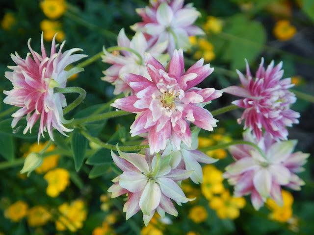 double columbine perennial rock mountains