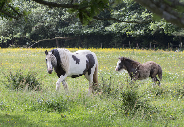 Horses in the field next to Cudham Road, Downe.  16 June 2012.