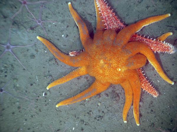The echinoblog what eats starfish aka what do starfish for What do fish eat in the ocean