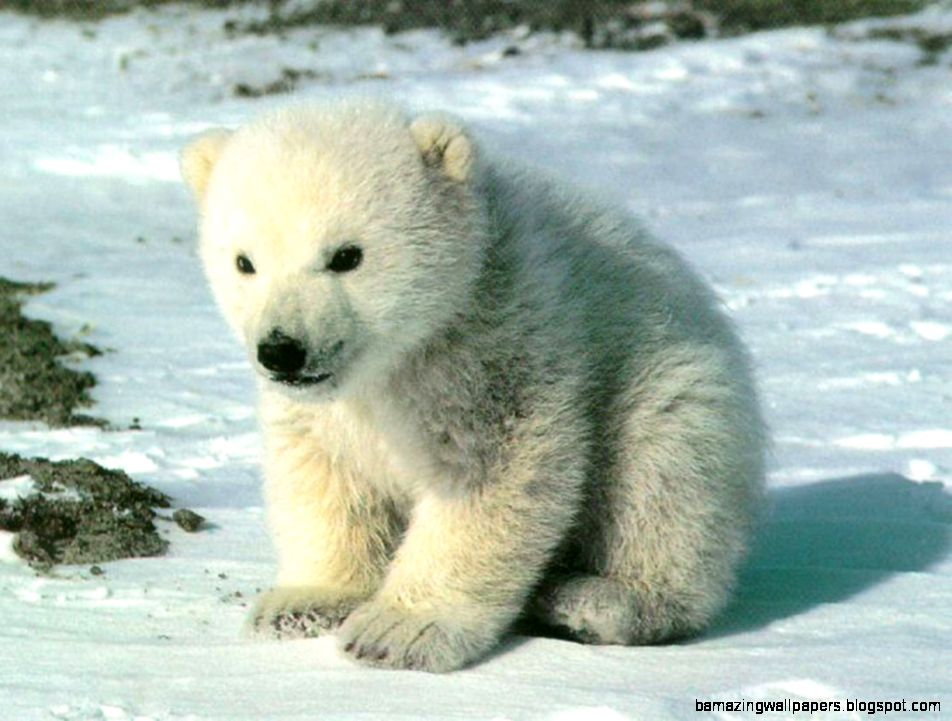 Cute Polar Bear   A collection of images of cute polar bears