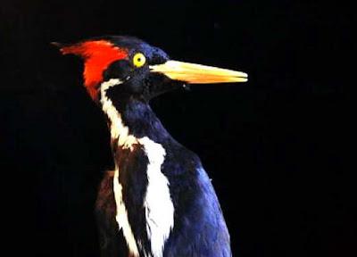 Burung Pelatuk Paruh Gading