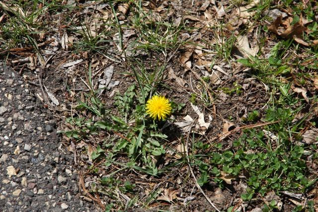 the first dandelion of the season