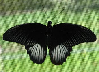 Pictures of black butterfly tattoos designs