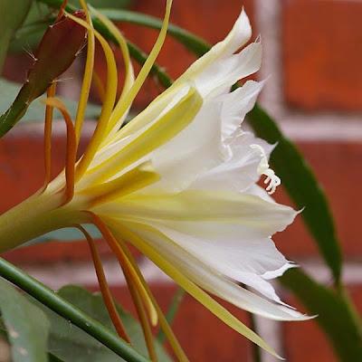 Weißlichgelbe Blüte des Epiphyllum Kaktus