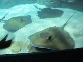 Ripley's Aquarium stingrays