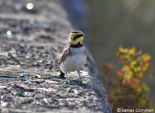 Shore Lark by James Common