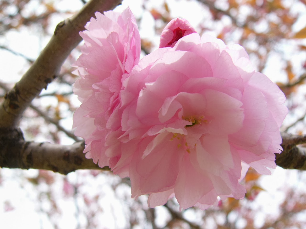 Sakura Flower Which Beautiful And Unique Only In Japan