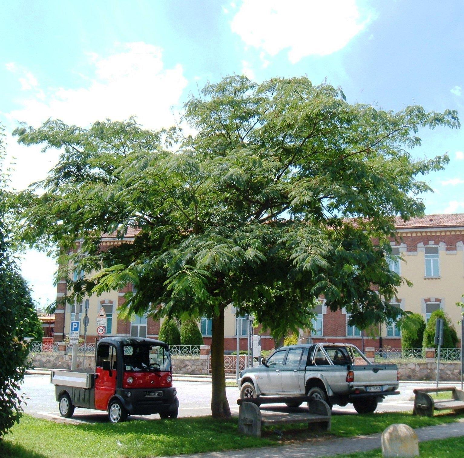 Cose dal borgo alberi di borgo ticino l 39 acacia di piazza for Acacia albero