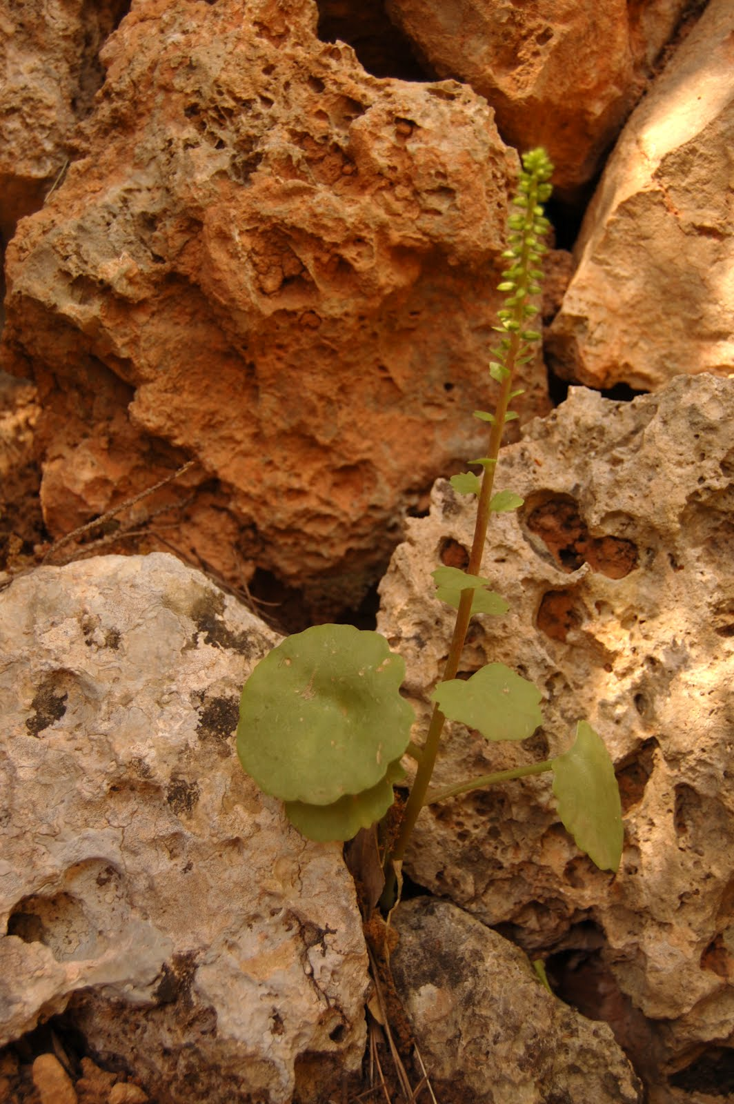 Umbilicus gaditanus
