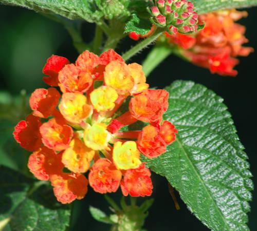 Orange Lantanas Flowers