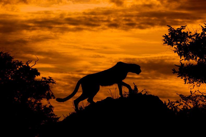 Imagen del día: Un guepardo en la puesta de sol