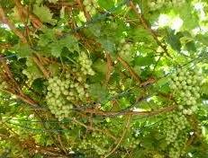 manfaat, khasiat, obat herbal daun anggur, racikan daun anggur