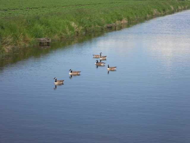 Ducks swimming on river crossens