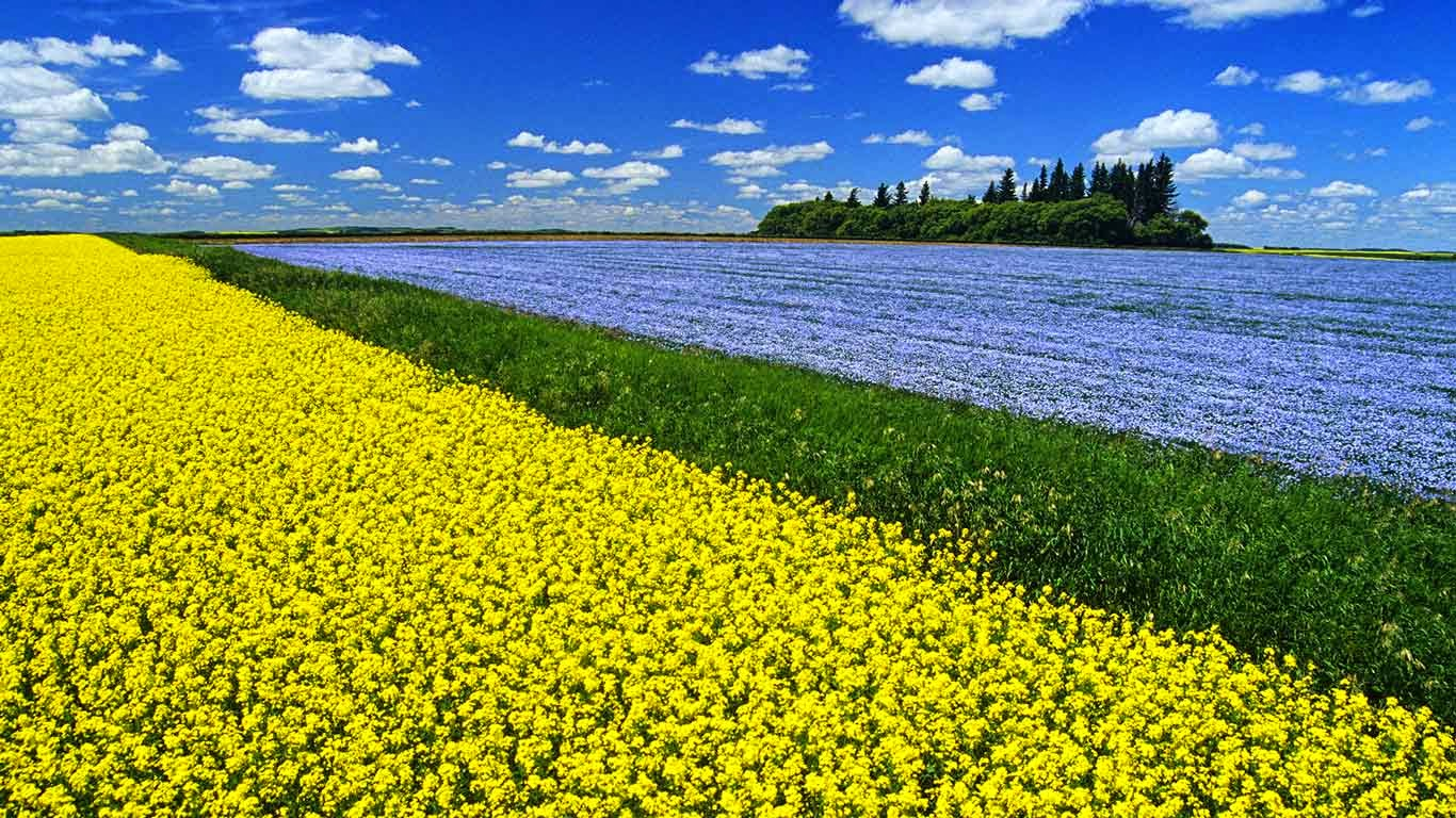 Flowering canola field with flax in the background and a sky filled with cumulus clouds, Tiger Hills near Somerset, Manitoba (© Dave Reede/All Canada Photos/Corbis) 93