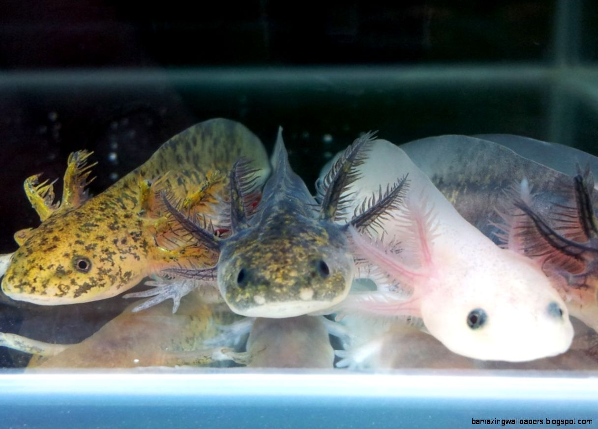Axolotl  Mexican Walking Fish  Blackpool Lancashire  Pets4Homes