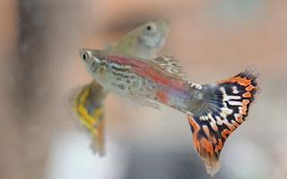 Cara praktis budidaya ikan guppy