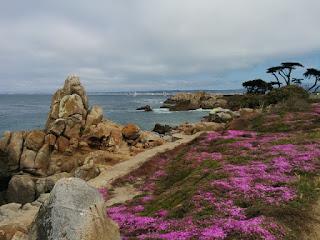 Drosoanthemum floribundum blooming along the coastal trail, Pacific Grove, California