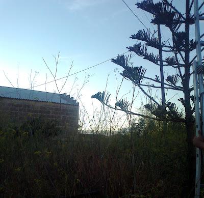 Araucarias marcan la entrada a la zona más cercana a la zona de envasado y gestión